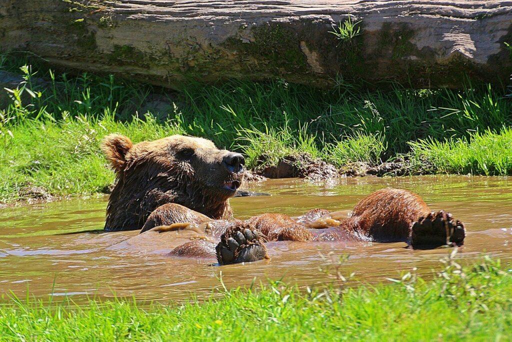 photo ours dans son bainn